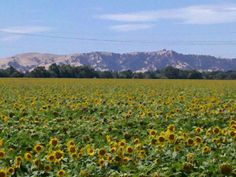 Sunflowers, Vacaville, Ca