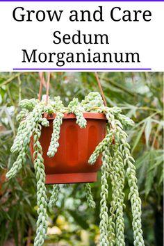 Burrito Sedum (Sedum Morganianum)