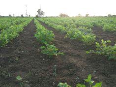 Groundnut plants at my farm.   #Peanut #groundnut