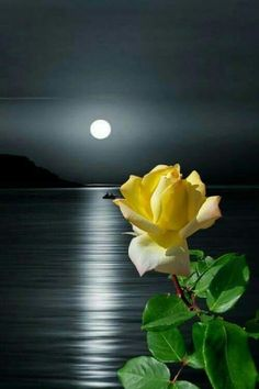 Yellow Rose in Moonlight Beautiful Moon, Beautiful Roses, Beautiful Flowers, Beautiful Places, Beautiful Pictures, Moon Images, Moon Pictures, Nature Pictures, Good Night Image