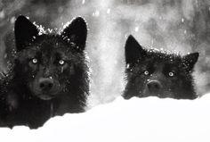 #Wolves black & white