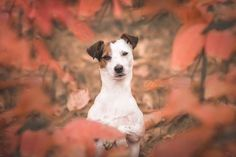 Jack Russell Terrier peaking through leaves ...by Heavenly Pet Photography #dog #dogs #terriers #cute #autumn #fall #colors
