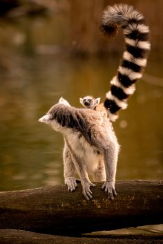Lemur Offspring by Mario Ciperle on Tame Animals, Animals And Pets, Pretty Animals, Lemur, Wildlife Art, My Animal, Pet Birds, Animal Kingdom, Cute Puppies