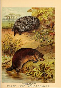 """A platypus depicted as a """"duck mole"""" from the 1880 title Johnson's Household Book of Nature. (Photo: Biodiversity Heritage Library/CC BY"""