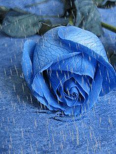 Blue Rose In Rain Gif animations rain flower rose gif Flowers Gif, No Rain No Flowers, Beautiful Rose Flowers, Beautiful Gif, Exotic Flowers, Beautiful Flowers, Rosas Gif, Rain Gif, Ronsard Rose