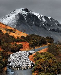 Herdwick sheep on fell. Lake District.