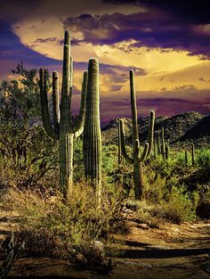 Saguaro Cactuses in Saguaro National Park near by RandyNyhofPhotos