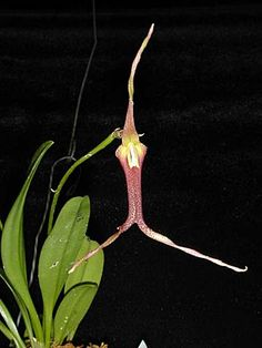 Andy's Orchids - Orchid Species - Masdevallia - don-quijote