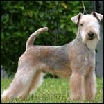 Lakeland Terrier 15-17 lbs. May become destructive if left alone with nothing to do,  tends to dig and bark if bored. Can be stubborn and independent and will eventually learn obedience with patience and persistence. Some can be difficult to housetrain.