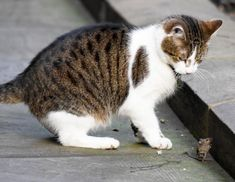 An unlucky mouse crossed paths with Downing Street's chief mouser, Larry, on Thursday