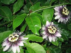 Maracujá  Passiflora Amethystina  (Família da Passifloráceas)