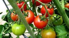 Gardening, Vegetables, Food, Lawn And Garden, Essen, Vegetable Recipes, Meals, Yemek, Veggies
