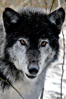 Wolf....💛
