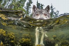 national-geographic photo of a wolf wading through the inter-tidal zone in British Columbia.