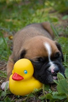 boxer puppy with a rubber ducky, too precious!