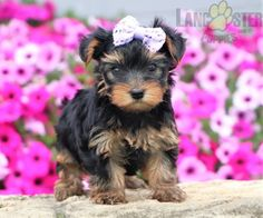 #YorkshireTerrier #Charming #PinterestPuppies #PuppiesOfPinterest #Puppy #Puppies #Pups #Pup #Funloving #Sweet #PuppyLove #Cute #Cuddly #Adorable #ForTheLoveOfADog #MansBestFriend #Animals #Dog #Pet #Pets #ChildrenFriendly #PuppyandChildren #ChildandPuppy #LancasterPuppies www.LancasterPuppies.com Yorkie Names, Lancaster Puppies, Yorkshire Terrier Puppies, Animals Dog, Puppies For Sale, Mans Best Friend, Pretty Little, Puppy Love, Doggies