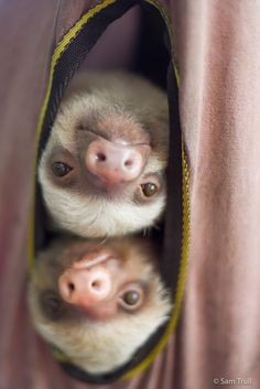 Adopt a sloth with the Sloth Institute in Costa Rica - sweet gift for your favourite sloth fan. The Adopt a Sloth program provides much needed help and rehab to injured and abandoned sloths in Costa Rica.