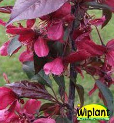 Malus 'Royalty', prydnadsäppel. Mörkröda blommor, mörkröda blad. Höjd: 3-4 m.