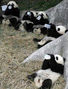 Baby pandas on baby milk bottle. V human like #nature #pic