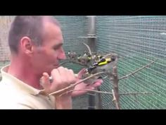 Crias de jilguero en cautividad - YouTube Stieglitz Vogel, Farm Animals, Animals And Pets, Musically Star, Goldfinch, Chant, Cute Birds, Beautiful Birds, Youtube