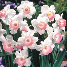 Pink Charm Daffodil - The name says it all — it is the epitome of charming! 6 creamy white petals form perianths with a white corona edged in coral pink. This gorgeous multi-floral plant is long lasting in the garden and multiplies annually. Daffodil Bulbs, Bulb Flowers, My Flower, Flower Power, Beautiful Flowers, Daffodil Flower, Cactus Flower, Exotic Flowers, Daffodils Planting