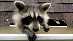 Here Is TV – Daily Primetime Recommendations | Raccoon: Backyard Bandit