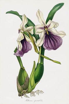 Joseph Paxton Magazine Botany Orchid Prints 1834