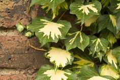 Climbers for Shade- Ivy on a shady wall. Credit: RHS/Paul Debois.