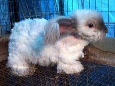 5 things not to do with your pet angora rabbit, & grooming tutorial