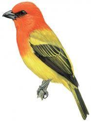 Red-hooded tanager, Piranga rubriceps
