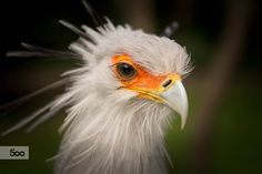 Secretarybird i saw at the zoo last sunday - it feelt like he was posing just for me .. thats why i choose the name ;-)  ..  girls look at the eyelashes of that beauty .. this will lead to pure envy from aaaaall ladies !  really really cool bird at the berlin tierpark