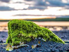 An algae covered rock