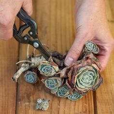 """It's easy to take cuttings of established succulents growing in your garden. With small pruning snips, cut stem sections 1-2 inches long. Remove lower leaves. (Roots will sprout from these leaf nodes.) Let cuttings dry on a tray for a few days before you plant them. This curing process causes cut ends to callus (form a thin layer of cells). """"It's OK if the cuttings shrivel up a little bit."""""""
