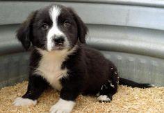 Snickers the Borgi Puppy - Corgi / Border Collie / Mixed (medium coat) - Photo 2