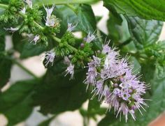 How to distinguish peppermint from spearmint Growing Mint, Growing Herbs, Spearmint Essential Oil, Essential Oils, Planting Seeds, Planting Flowers, Mint Plants, Parts Of A Plant, Edible Garden