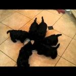 Watch this great video of Scottie Puppies Eating and See What Happens!