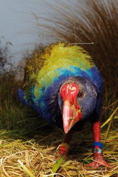 Exotic Birds, Colorful Birds, New Zealand Art, Nz Art, Kiwiana, Sea Birds, Colorful Paintings, Amphibians, Bird Art
