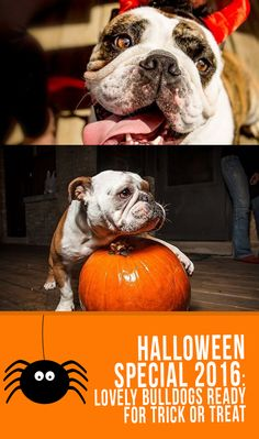 e0c9e821f085f Halloween Special 2016  Lovely Bulldogs Ready For Trick Or Treat