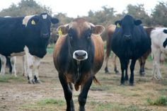 California Happy Cows at Organic Pastures Raw Milk Dairy by cheeseslave, via Flickr