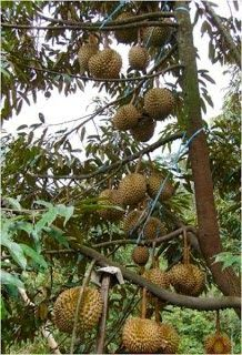 Lebatnya durian dan tak mengenal musim Types Of Fruit, Kinds Of Fruits, Fruit Plants, Fruit Garden, Exotic Fruit, Tropical Fruits, Low Calorie Vegetables, Weird Trees, Growing Fruit Trees