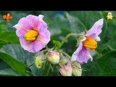 Hogyan ültetjük burgonyát. Könnyen. Két. - YouTube Plantation, Advice, Plants, Youtube, Sony, Chicago, Gardening, Gardens, Counseling