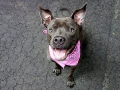 SAFE 7/24/13 Manhattan MIA A0971500 FEMALE GRAY PIT MIX 7mos When her owner relinquished young Mia as the family couldn't afford her skin care her former owner made sure to tell us that she is a very friendly puppy. Mia has lived w/ dogs & young kids all her life & is said to be very good & playful w/ both She is house trained & knows several commands Mia is an AVERAGE-rated cute friendly, young lady whose only chance at survival is a foster or adoptive home, within the next 12 hours.