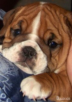 The major breeds of bulldogs are English bulldog, American bulldog, and French bulldog. The bulldog has a broad shoulder which matches with the head. Animals And Pets, Baby Animals, Funny Animals, Cute Animals, Wild Animals, Bulldog Puppies, Cute Puppies, Dogs And Puppies, Rottweiler Puppies