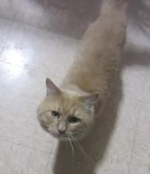 Isaac is an adoptable Domestic Medium Hair - Orange And White Cat in Woonsocket, RI. Isaac arrived at our shelter on July 1, 2012. He was so so skinny, flea infested, and just in really rough shape.  ...