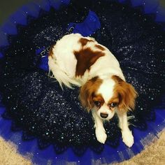 バレリーナマカロン。娘のバレエの衣装が気に入って独り占め Ballerina Macaron #ballet @ballerinadog #tutu #キャバリア#ブレンハイム#キャバリア部 #dog#フワモコ#愛犬#犬のいる生活に #キャバリアキングチャールズスパニエル #cavlife #cavalier #blenheim # #dogslovers #cavliers #CKC #kingcharls #puppy #cute #cavstyle #cavstagram #dogofthday #dogsofinstagram #ckcs #funnypuppy #おとなしい犬