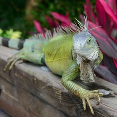 "Discovered by Bill Dillard, ""Known Locally as The ""green plague"", an infestation of iguanas are wreaking havoc in Puerto Rico chewing up plants, crops, and burrowing under roads and dikes..."" at The St. Regis Bahia Beach Resort, Puerto Rico"