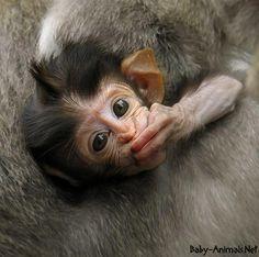 Baby monkey 3    #babymonkey  #cutemonkey   #littlemonkey   #Sweetmonkey   #monkey  #babyanimals  #cuteanimals