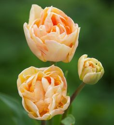 A perfect tulip for arranging in the softest orange, which looks good in almost any colour range.