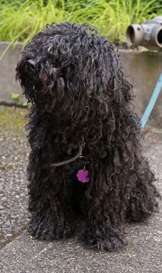 Puli dog photo | Shaggy dog- Puli dog | Flickr - Photo Sharing!