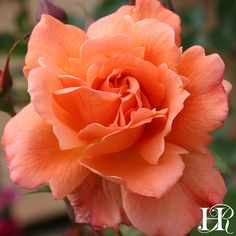 A widely popular rose, Westerland™️, covered in coppery apricot opens its semi-double blooms to display frilly trimmed petals Beautiful Flower Arrangements, Most Beautiful Flowers, Exotic Flowers, Pretty Flowers, Heirloom Roses, Shrub Roses, Planting Roses, Colorful Plants, Orange Roses